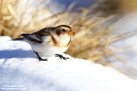 "Special - Italy: ""Snow buntings"" (2013)"