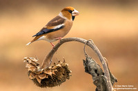 Frosone comune / Coccothraustes coccothraustes / Hawfinch / Gros-bec casse-noyaux