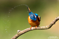 Alcedo atthis / Martin pescatore / Common kingfisher / Martin-pêcheur d'Europe