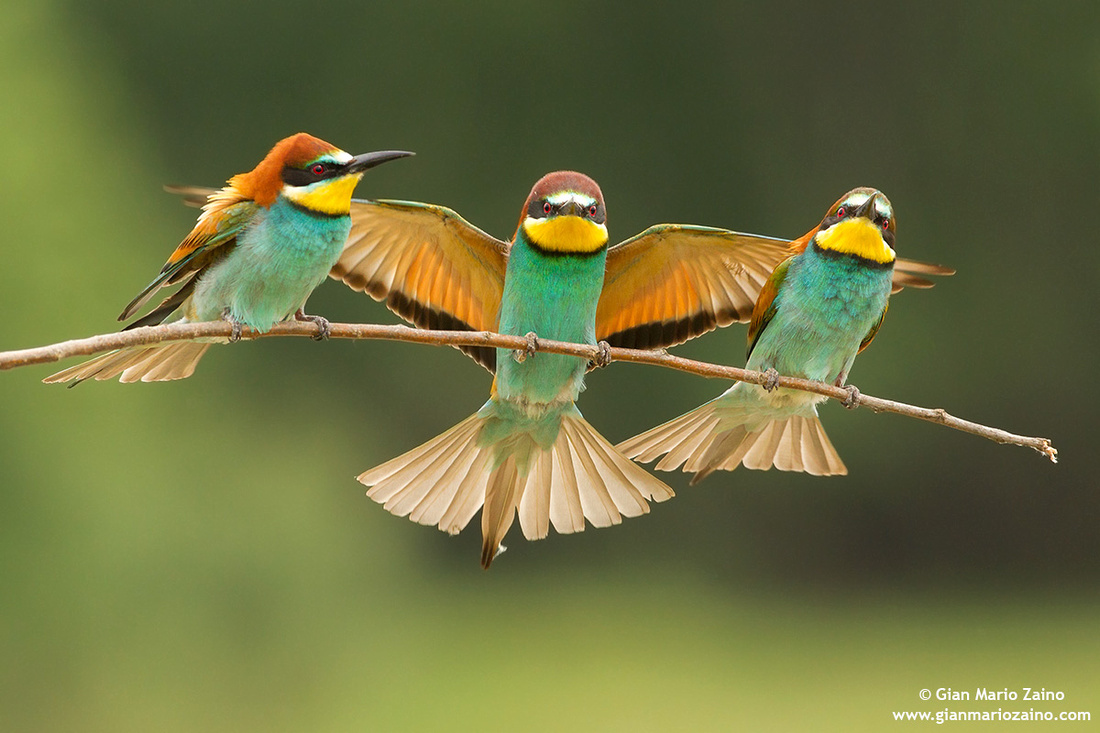 Merops apiaster / Gruccione / European Bee-eater / Guêpier d'Europe