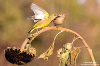 Chloris chloris / Verdone comune / European greenfinch / Verdier d'Europe