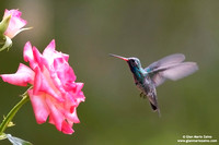 Cynanthus latirostris / Colibrì beccolargo / Broad-billed hummingbird / Colibri circé