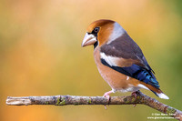 "Special - Italy: ""Hawfinch"" (2017)"