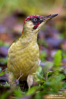 "Special - Italy: ""European green woodpecker"""