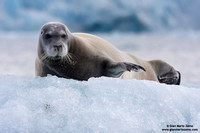 Erignathus barbatus / Foca barbata / Bearded seal / Phoque barbu