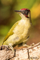 "Special - Italy: ""European green woodpecker"" (2014-2017)"