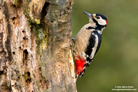"Special - Italy: ""Great spotted woodpecker """