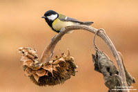 "Special - Italy/Switzerland: ""Great tit"""